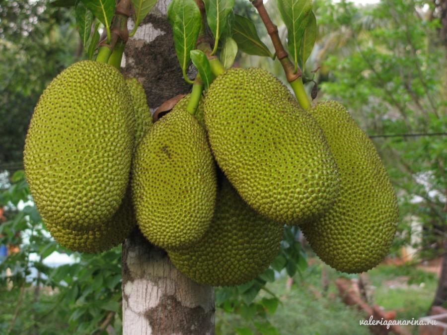 Фрукты Вьетнама: универсальный гигант джекфрут